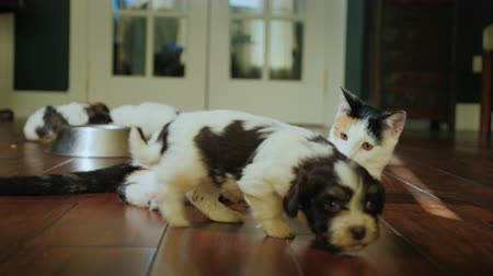 few : A homemade cat plays with a little puppy, a group of puppies eating from a bowl. Nice pets at home