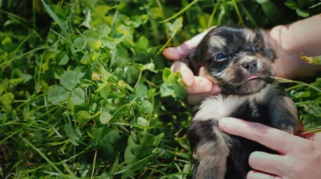para a frente : The owners hands stroke a funny little puppy on the background of green grass
