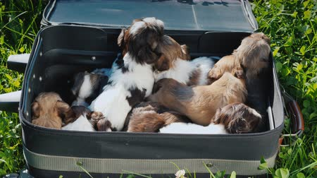 köpek yavrusu : Suitcase full of little puppies on green grass. Travel with pets and fun videos with animals
