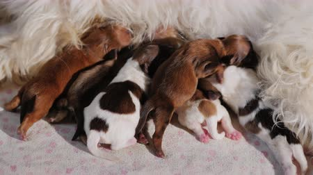 mamilo : Many small puppies enthusiastically eat mothers milk Stock Footage