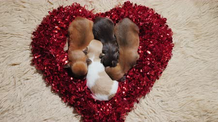 tebrik etmek : Several newborn puppies lie on a soft rug in a heart-shaped ornament. Valentines Day Gift