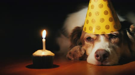 apetite : Funny Portrait of a birthday dog looking at his birthday cake