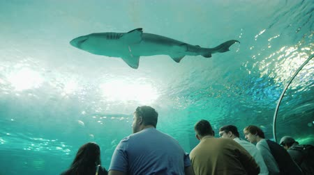 hayran olmak : Toronto, Canada, October 2017: A huge shark floats above the visitors of the oceanarium. People in the transparent glass tunnel admire the underwater life