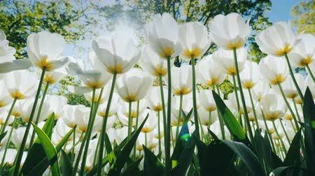 esneme : Sunlight makes its way through a flower bed with white tulips Stok Video