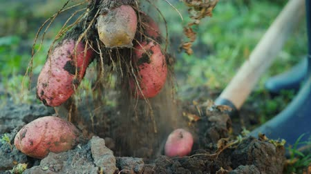 필드의 얕은 깊이 : A farmer digs up a potato bush.
