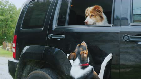 tramp : The dog is waiting for the owner in the car