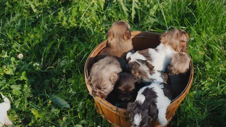 fiel : Basket of happiness - little puppies. On a lush green lawn Stock Footage