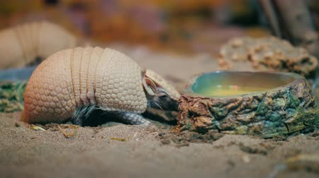 когти : Armadillo. Armadillo disambiguation Стоковые видеозаписи