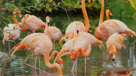 flamingi : American flamingos. A flock of beautiful pink birds