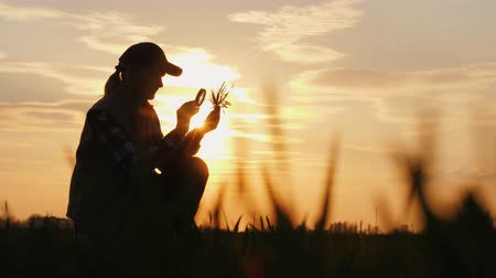 brotos : A farmer working in the field is studying wheat sprouts, looking through a magnifying glass