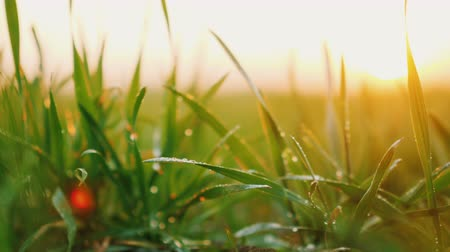 brotos : Young wheat sprouts with dew on them sway in the wind