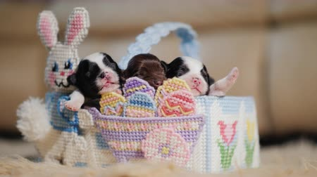 nyuszi : A group of puppies in the Easter basket
