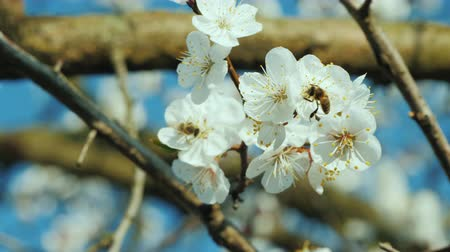 ネクター : Bee collecting pollen on apricot blossom 動画素材