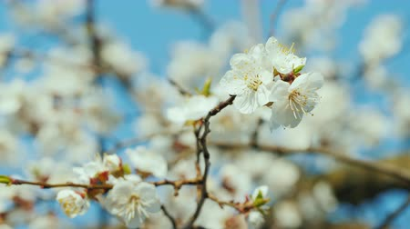 абрикосы : Flowering apricot tree against a clear blue sky