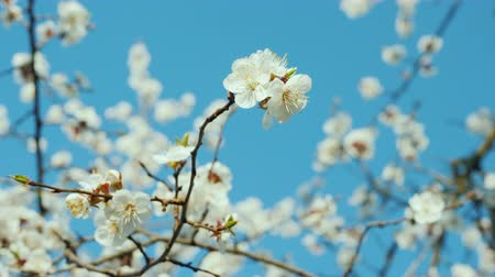 morele : Flowers on the blossoming apricot branches