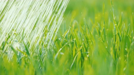brotos : Watering the green lawn. Water drops fall on juicy grass. Vídeos