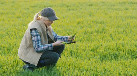 földműves : A farmer is studying the roots of wheat germ. Scientific work in agriculture Stock mozgókép