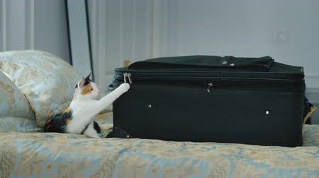 empaques : Kitten plays with a buckle travel suitcase. Vacation and business trip concept Archivo de Video