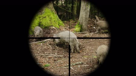 everzwijn : Hunter takes aim at a wild pig in the forest, view through a telescopic sight