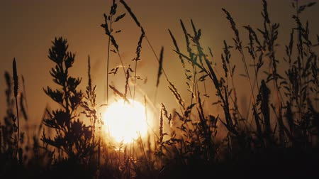 değil : The setting sun shines through the waving grass Stok Video