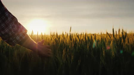 fértil : Farmers hand looks at the ears of wheat at sunset. The suns rays shine through the ears
