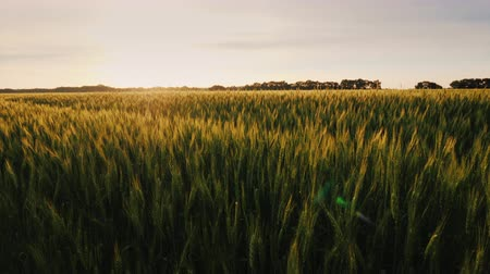 fértil : View of the picturesque wheat field at sunset. Vídeos