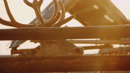 оленьи рога : A deer with beautiful horns looks out of the fence in the rays of the setting sun