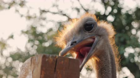 Funny African ostrich pecks at a fence Stock mozgókép