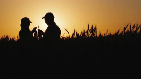 caring : Silhouettes of two farmers in a wheat field looking at ears of corn