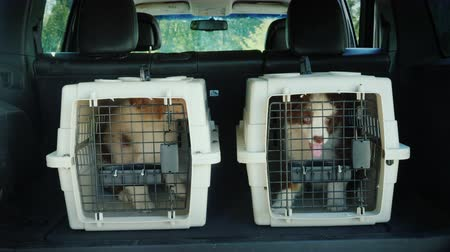 Two cages for the transport of animals in the trunk of the car. Inside are two puppies. Transportation of live animals
