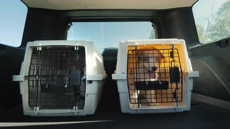 kennel : The car carries two cages with puppies. Pet Transportation Stock Footage