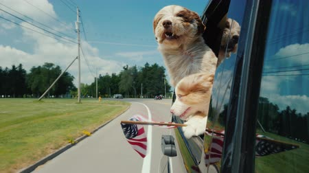 A pair of funny dogs with the flag of the United States look out the window of a moving car Filmati Stock
