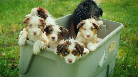 bathhouse : A few funny wet puppies in a basket, looking into the camera Stock Footage