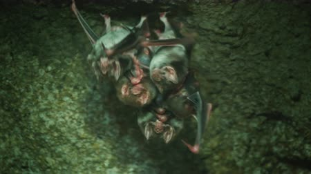 fobi : Group of vampire bats in a cave Stok Video