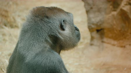 supremo : Portrait of a gorilla looking around