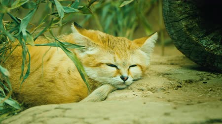 felidae : Cat - Felis margarita dozing in the sand