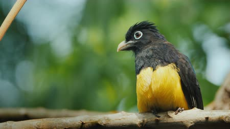 субтропический : The black-headed trogon is a species of bird in the family Trogonidae Стоковые видеозаписи