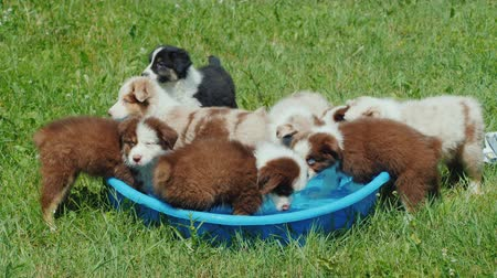 sede : A group of puppies of the breed Australian Shepherd drinks water from a small pool in the backyard Vídeos