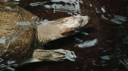 A large turtle in the water, visible head and armor shell Стоковые видеозаписи