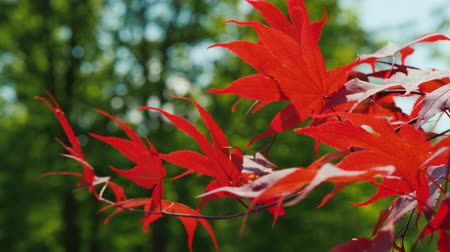 meio dia : Red maple leaves sway in the wind