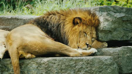 řev : Lion with a beautiful mane resting on the stones