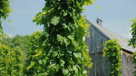 hops : Ancient wooden building, in the foreground hops plants. Brewing concept