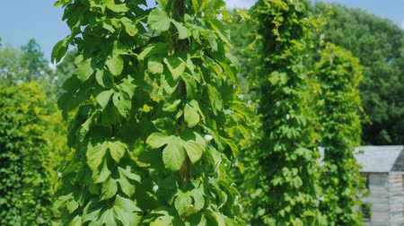 hops : Hop farm - brewing raw materials. Green hops plants creep along the pillars Stock Footage