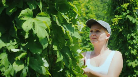 hops : A farmer studies hop plants at a brewery farm. Raw materials for the manufacture of beer Stock Footage