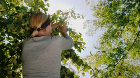 linden : Rear view of Woman picks linden flowers from a tree. Collection of medicinal plants Stock Footage