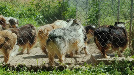 breeder : Active dogs of the breed Australian Shepherd in the aviary Stock Footage