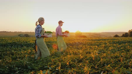 A pair of young farmers carry boxes of vegetables in the field. Autumn and harvesting concept