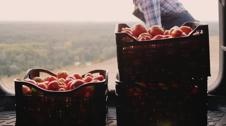 descarregamento : Woman farmer puts boxes with tomatoes in the car trunk. Harvesting concept