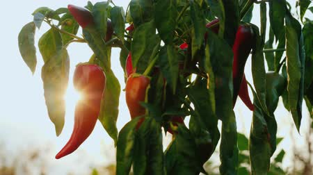 bitter : The sun shines on the fruit of hot pepper Stock Footage