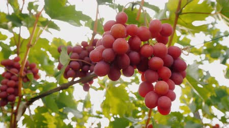 The rays of the sun shine through the juicy bunches of ripe grapes
